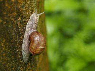 Weinbergschnecke klettert auf Baum