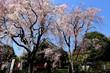 清水観音堂の桜
