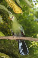 Knysna Loerie (Turaco) bird