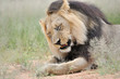 Постер, плакат: Male lion in the Kalahari