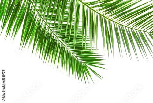 Poster Palm boom Palmwedel isoliert auf weiß