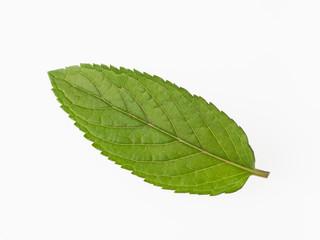 ブラックペパーミントの葉1枚