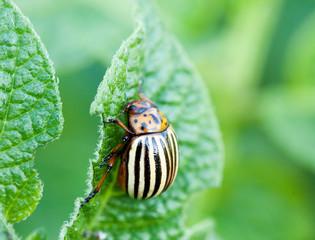 Potatoe beetle - Leptinotarsa decemlineata