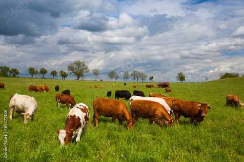 In de dag Koe The herd of cows on spring meadow