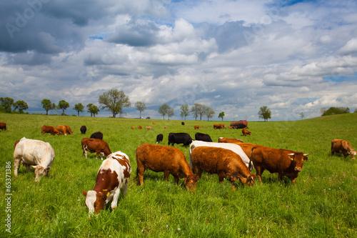 Foto Spatwand Koe The herd of cows on spring meadow