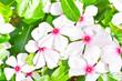 Phangphuai flowers-white   Vinca flower