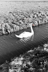 Mute Swan in a cold dutch ditch