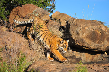 shot of a tiger coming down from a rock