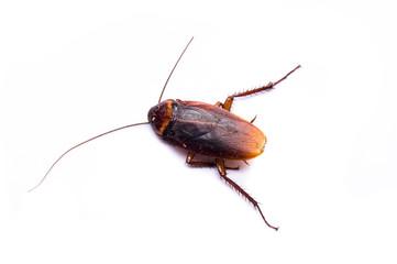 Dirty cockroach