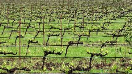 Vineyards in the Napa Valley. California, USA.