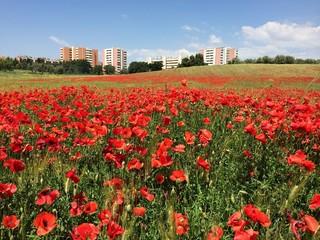 blossom poppy field