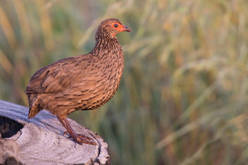 Swainson's francolin standing on tree stump to call in early m