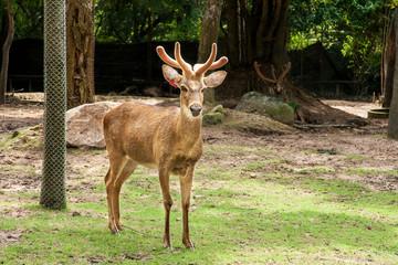 Barasingha or Deer in open zoo