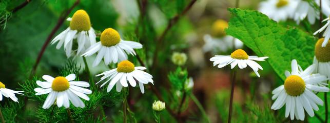 Fleurs des champs mauves
