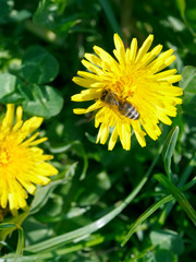 bee collecting blossom dust from dandelion flower