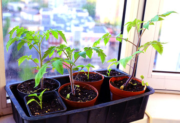 Tomato seedlings in pots on the windowsill