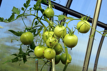 Stems with green tomatoes in a greenhouse