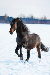 Bay stallion running in winter