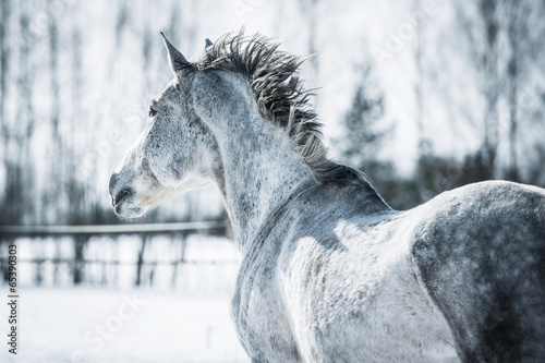Grey horse running in winter - 65390303