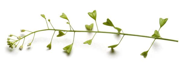 Capsella bursa-pastoris Gewöhnliches Hirtentäschel