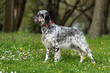 Cute blue belton English Setter dog in a spring flowering meadow