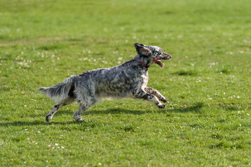 Cute blue belton English Setter dog is running cross on a meadow