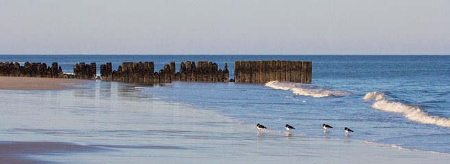 Oystercatchers and groin 1