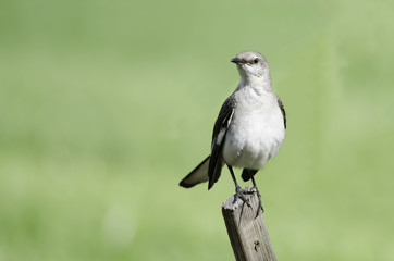Northern Mockingbird on fence
