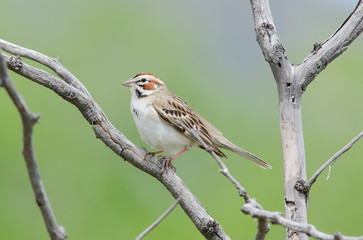 Lark Sparrow on branch