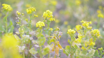 Flowers of Field mustard,in Showa Kinen Park,Tokyo,Japan