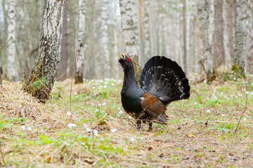 On the path worth wood grouse