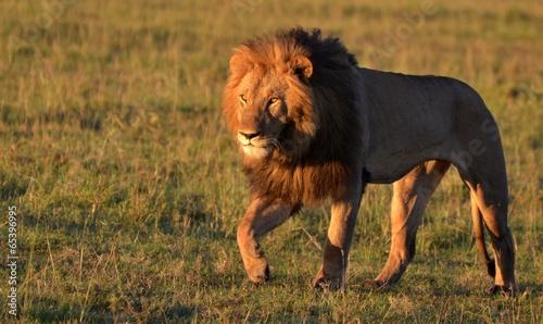 Foto op Canvas Leeuw African Lion