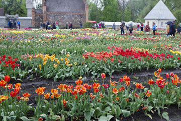 Festival of spring tulips in the village