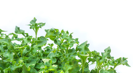Group of fresh watercress on white
