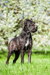 Cane corso standing in the park