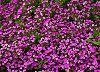 flowerbed with pink Phlox subulate