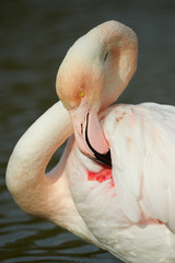 portrait of a greater flamingo in vertical, in Camargue
