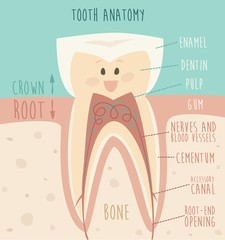 tooth anatomy, funny tooth vector illustration