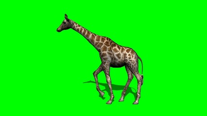 giraffe walking with shadow - green screen