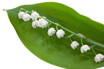Lily of the valley. Isolated on white background