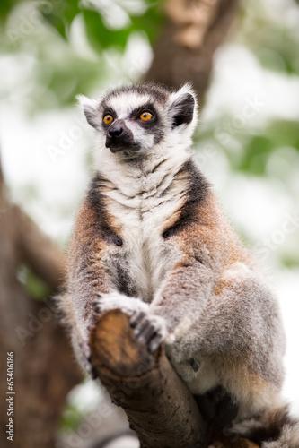 lemur (lemur catta)
