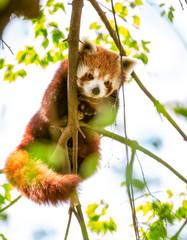 Red Panda  or Lesser Panda.