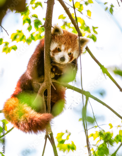 Deurstickers Panda Red Panda or Lesser Panda.
