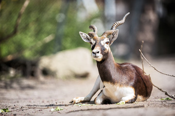 Beautiful gazelle llying