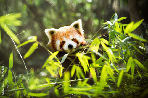 Papiers peints Panda red panda