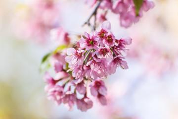Wild Himalayan Cherry flower ,Thai  Sakura blossom