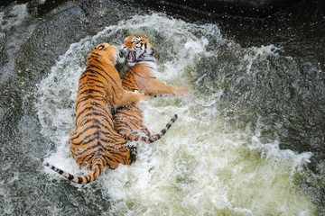 Siberian tigers play wrestling in water
