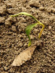 just germinated small sugar maple seedling with samara