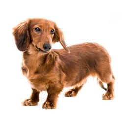red dog breed dachshund