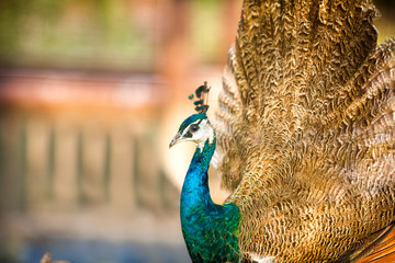 proud beautiful Peacock